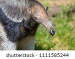 close up portrait of wild... | Shutterstock . vector #1111585244