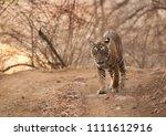 cub of tigress noor at... | Shutterstock . vector #1111612916