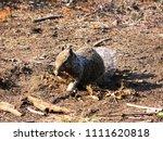 cute squirrel at mariposa grove ... | Shutterstock . vector #1111620818
