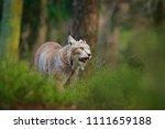 wild bobcat between the trees....   Shutterstock . vector #1111659188