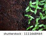 young green seedlings plants... | Shutterstock . vector #1111668464