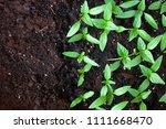 young green seedlings plants... | Shutterstock . vector #1111668470