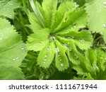 beautiful green leaves. water... | Shutterstock . vector #1111671944