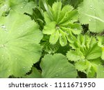 beautiful green leaves. water... | Shutterstock . vector #1111671950