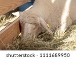 sheep in a wooden paddock on a... | Shutterstock . vector #1111689950