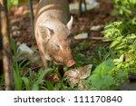 lazy kid pig or wild boar | Shutterstock . vector #111170840
