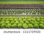 field with rows of colorful ... | Shutterstock . vector #1111729520