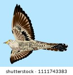 portrait of a flying cuckoo | Shutterstock .eps vector #1111743383