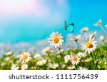 Stock photo chamomiles daisies macro in summer spring field on background blue sky with sunshine and a flying 1111756439