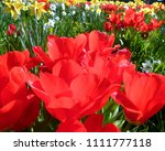 great flowerbed with red tulips ... | Shutterstock . vector #1111777118
