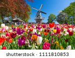 blooming colorful tulips... | Shutterstock . vector #1111810853