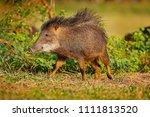 wild pig  white lipped peccary  ...   Shutterstock . vector #1111813520