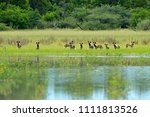 pack of wild dog hunting in... | Shutterstock . vector #1111813526