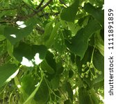 Greenery From A Linden Tree