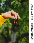 Small photo of two red cherries in the fingers. against a background of greenery. against the background of leaves.
