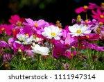 flowers scenic blooming of...   Shutterstock . vector #1111947314