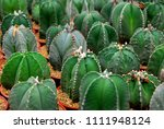 cactus plants or astrophytum...   Shutterstock . vector #1111948124