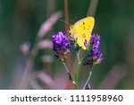 butterfly sits on a flower | Shutterstock . vector #1111958960