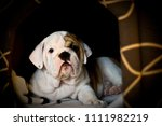 Stock photo bulldog puppy months old 1111982219