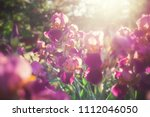 Beautiful Iris Flowers In The...