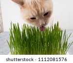 Cat Is Eating Fresh Green Grass....