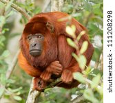 Small photo of Mantled howler (Alouatta seniculus) resting in a tree