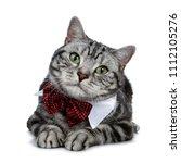 handsome black silver tabby...   Shutterstock . vector #1112105276