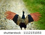 female peahen at jaldapara... | Shutterstock . vector #1112151053
