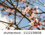 in springtime  beautiful cherry ... | Shutterstock . vector #1112158838