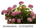 hydrangea bush isolated on... | Shutterstock . vector #1112166533