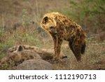 spotted hyena  crocuta crocuta  ... | Shutterstock . vector #1112190713