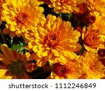 Golden Orange Chrysanthemums I...