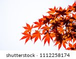 acer palmatum  commonly known... | Shutterstock . vector #1112258174