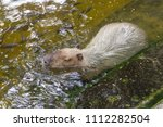 capybaras playing in the pond | Shutterstock . vector #1112282504