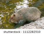 capybaras playing in the pond | Shutterstock . vector #1112282510