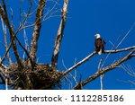 A Bald Eagle  Perched On Tree...