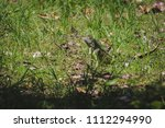 iguana sun bathing in the field ... | Shutterstock . vector #1112294990