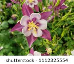 aquilegia songbird nightingale... | Shutterstock . vector #1112325554