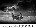 zebra with dark storm sky.... | Shutterstock . vector #1112389214