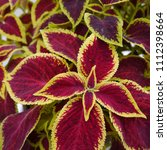Small photo of Colourful Coleus Solenostemon House Plants Growing