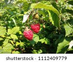 raspberries growing on a branch.... | Shutterstock . vector #1112409779