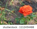 beautiful orange rose on... | Shutterstock . vector #1112454488