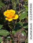 beautiful yellow rose on... | Shutterstock . vector #1112454500