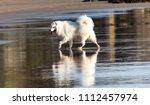 white samoyed purebred pet dog... | Shutterstock . vector #1112457974
