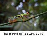 agalychnis callidryas tropical... | Shutterstock . vector #1112471348