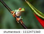 agalychnis callidryas tropical... | Shutterstock . vector #1112471360