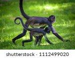 Two Geoffroy's Spider Monkeys...