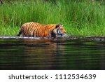 the siberian tiger  panthera... | Shutterstock . vector #1112534639