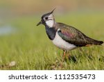 northern lapwing   vanellus... | Shutterstock . vector #1112535473