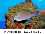 Small photo of Lavender Tang (Acanthurus nigrofuscus)